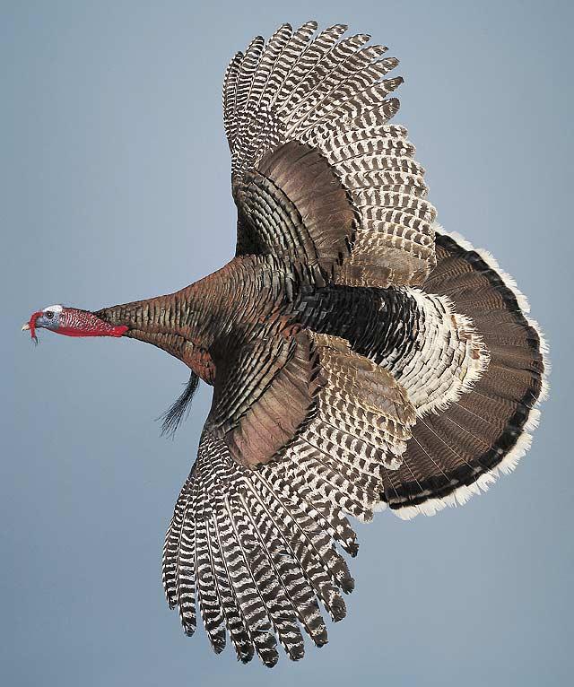Wild turkey flight - photo#19